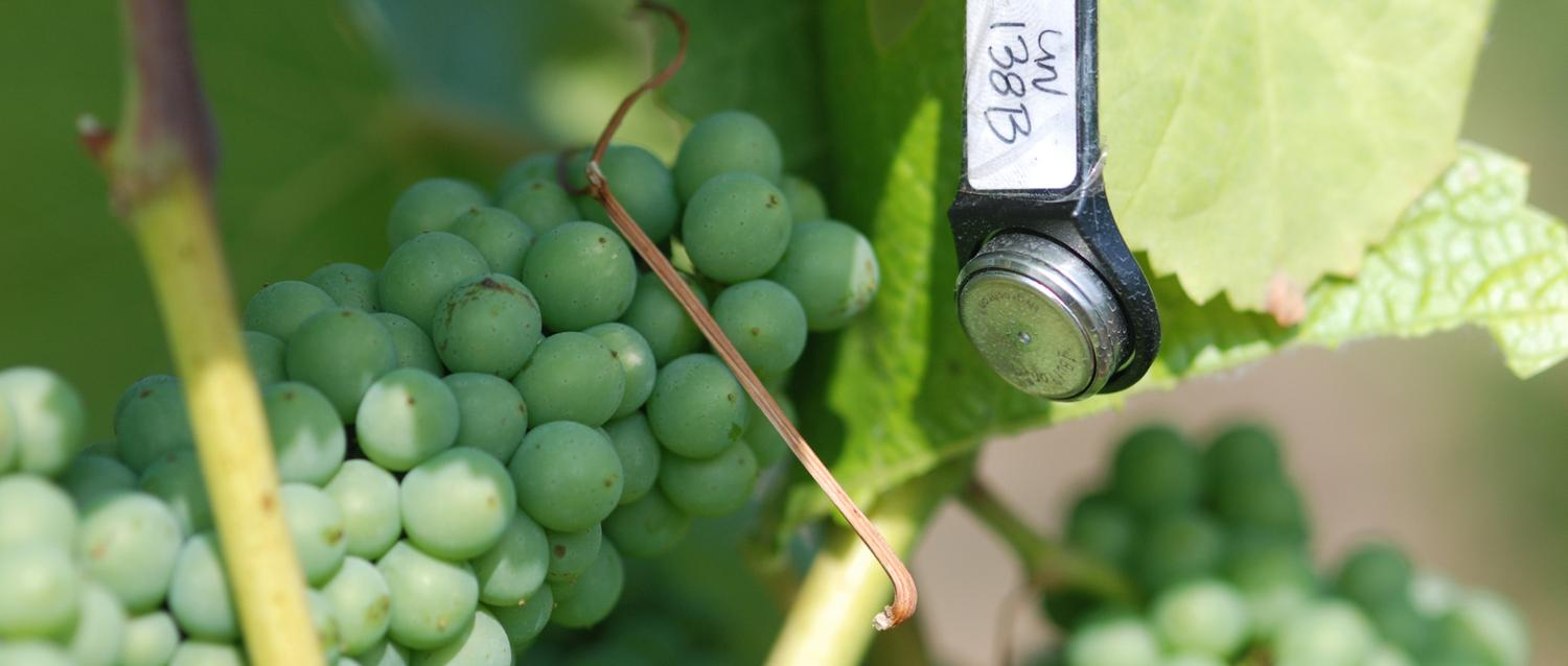 A temperature-and-humidity tracker next to grape vines