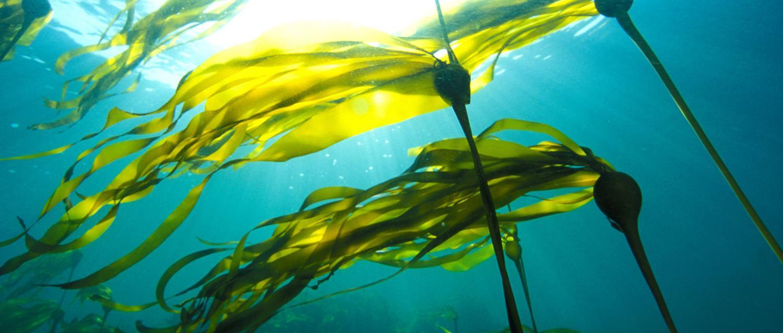 Underwater photo of Vancouver Island bull kelp