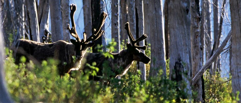 Two mature bull caribou