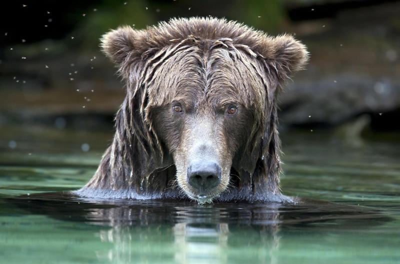 dangerous yet delicate grizzlies university of victoria