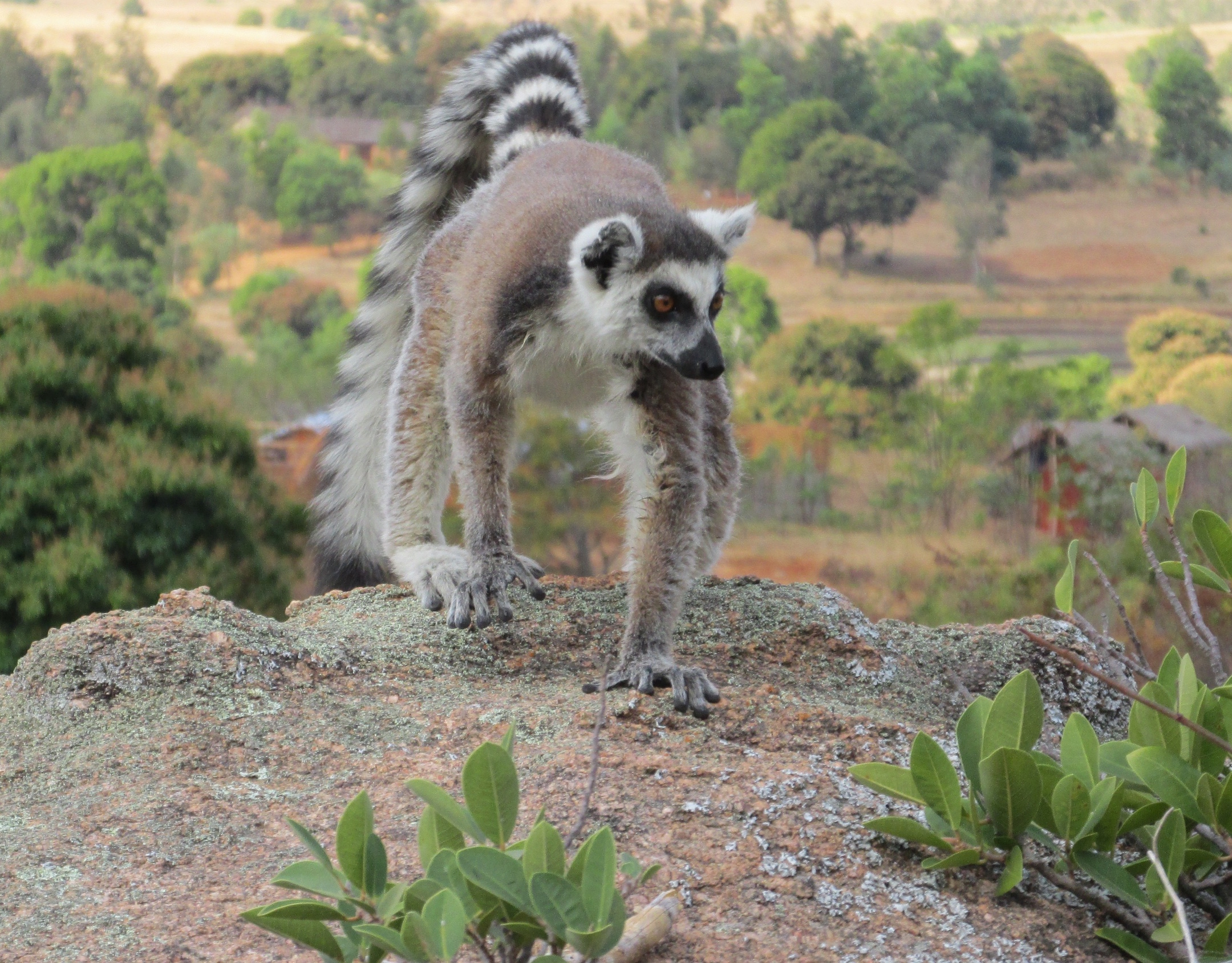 new study on ring tailed lemur university of victoria