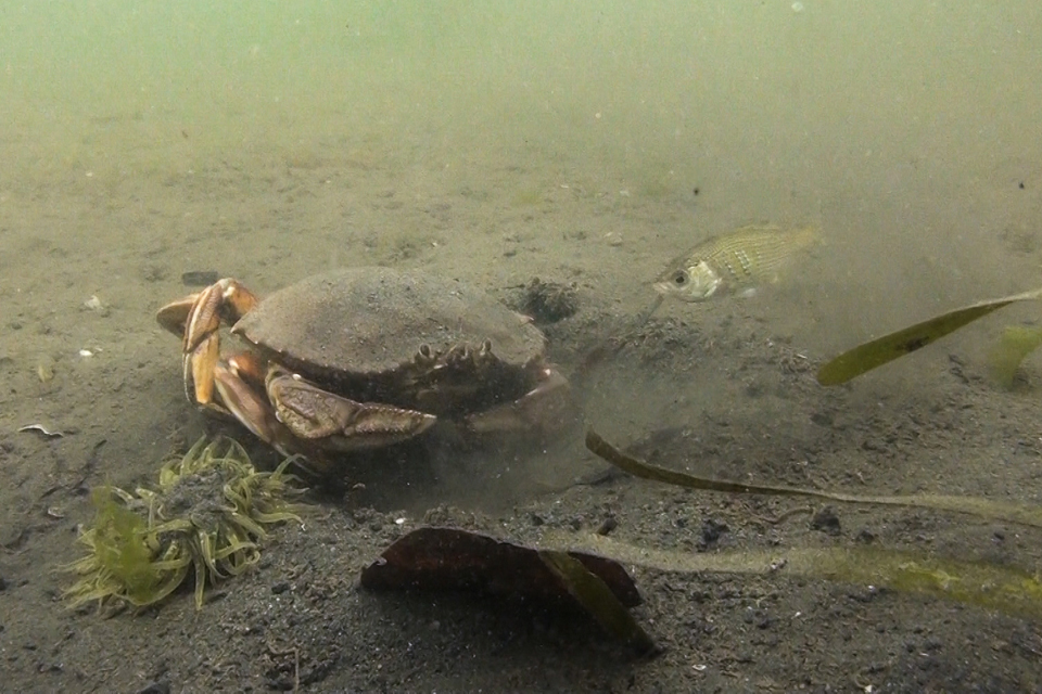 Dungeness crab digging for food on the central coast of BC. Credit: Tristan Blaine.