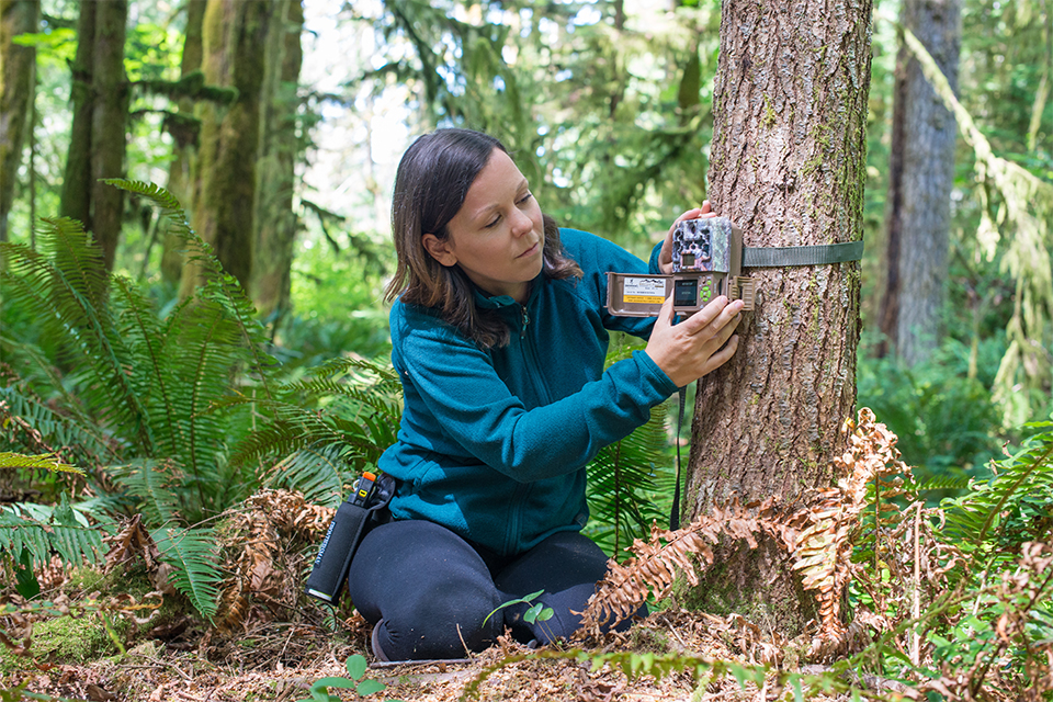UVic postdoc fellow Melanie Clapham sets up camera trap for BearID AI technology using artificial intelligence for facial recognition of brown grizzly bears.