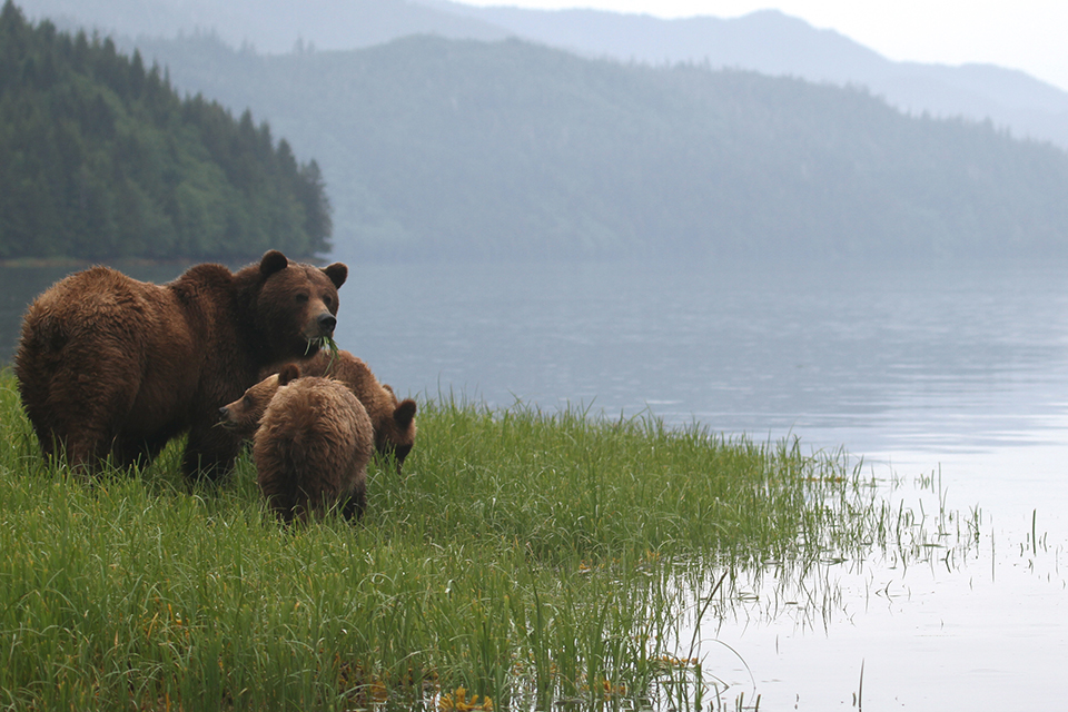 Three bears by the river in the Great Bear Rainforest